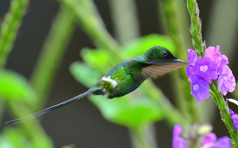 Green Thorntail, Rancho Naturalista.
