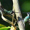 White-throated Mountain-gem Hummingbirds