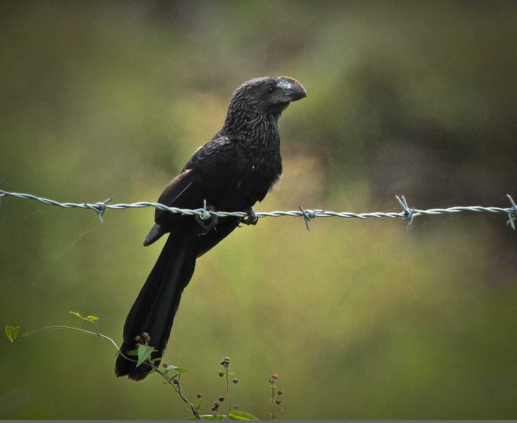 This bird called a Smooth Billed Ani