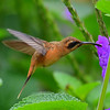 Striped-throated Hermit Hummingbird