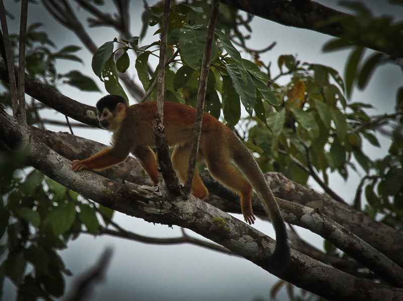 Mono Titi Monkey also known as the grey crowned red-backed squirrel monkey.  A very  Endangered species.