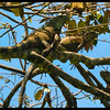 Iguanas near Gandoca Manzanillo Southern most Caribbean, Costa Rica.