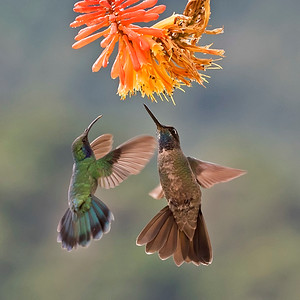 Sapphire Throated left, Blue Throated Goldentail, right Hummingbirds