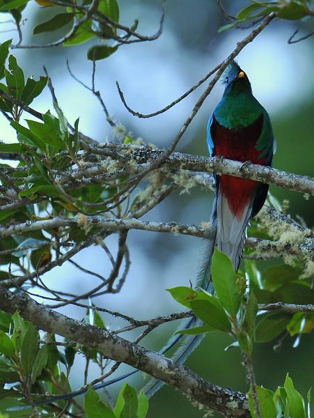 Resplendent Quetzal, Savegre Mountain Lodge.