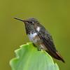 Volcano Hummingbird