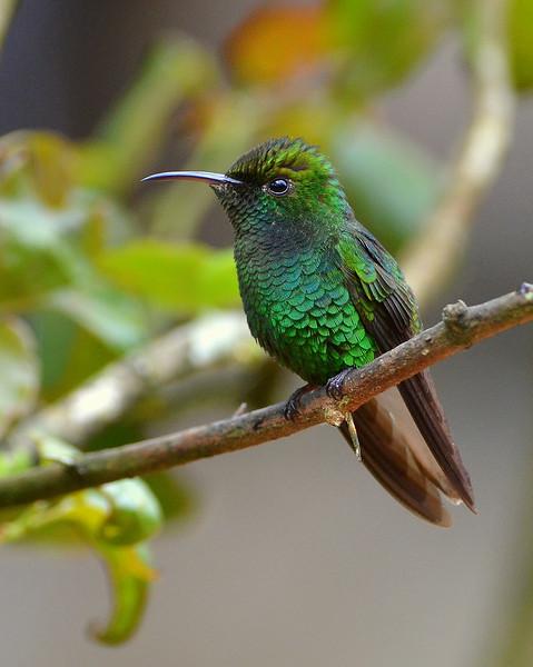 Coppery-headed Emerald, male, La Paz Waterfall Gardens.
