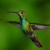Green-brested Mango Hummingbird