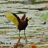 Northern Jacana, park near Rancho Naturalista.