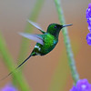 Green Thorntail Hummingbird