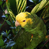 This picture not REALLY in Costa Rica.  This is Jimmy, my Double Yellow Head Amazon who's been with me for over 20 years now.