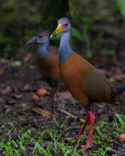 Grey-necked Wood-rail