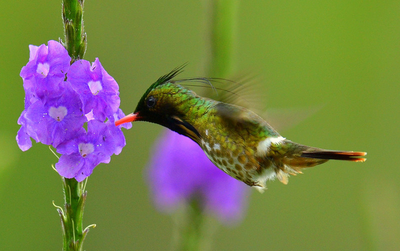 Black-crested Coquette, Rancho Naturalista.