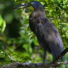Bare-throated Tiger-heron