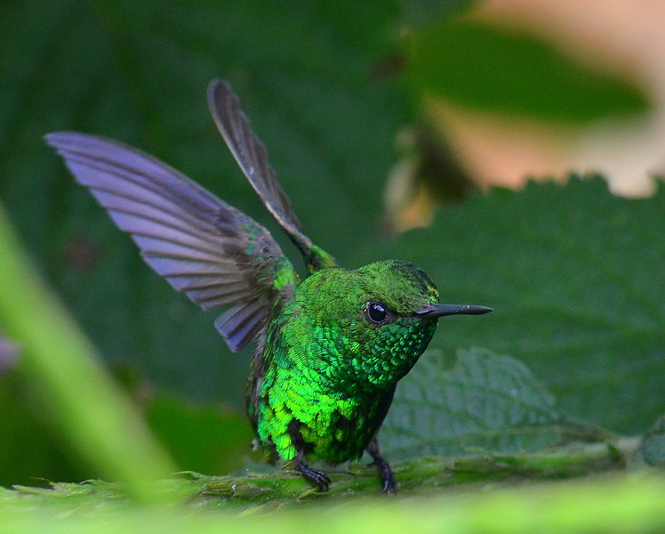 Garden Emerald Hummingbird