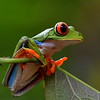 Red-Eyed Leaf (Tree) Frog