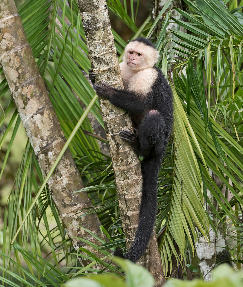 White Throated Capuchin Monkey