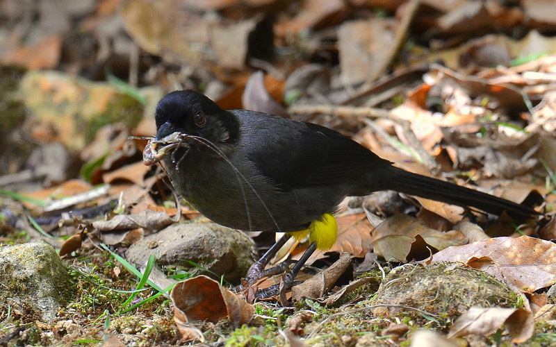Yellow-thighed Finch, Savegre Mountain Lodge.