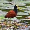 Northern Jacana, park near Rancho Naturalista.  This is  the male, they are the ones that take care of the eggs and chicks.