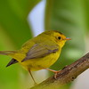 Wilson's Warbler, female, Savegre Mountain Lodge.