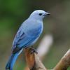 Blue-grey Tanager, Rancho Naturalista.