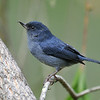 Slaty Flowerpiercer, male, Savegre Mountain Lodge