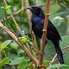 Melodious Blackbird, Rancho Naturlaista.