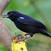 White-lined Tanager, male, Rancho Naturalista.