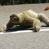 Sloth trying to cross the highway near Dominical and saved by me along with 2 locals.