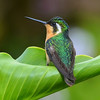 White-throated Mountain-gem Hummingbird