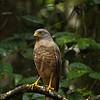 Roadside Hawk just outside my cabina at Bosque del Cabo (Osa Peninsula)