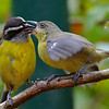 Bananaquits, adult feeding juvenile, La Paz Waterfall Gardens.