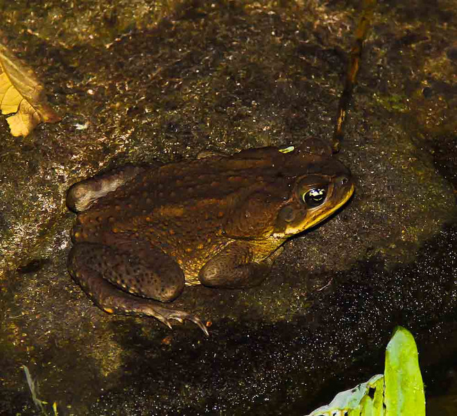 Toad.  Night time in a pond next to my cabina.