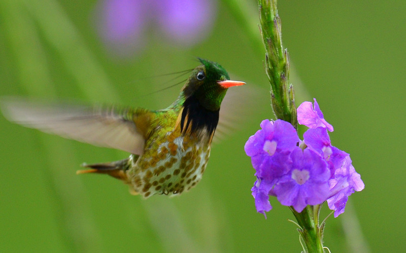 Black-crested Coquette Hummingbird