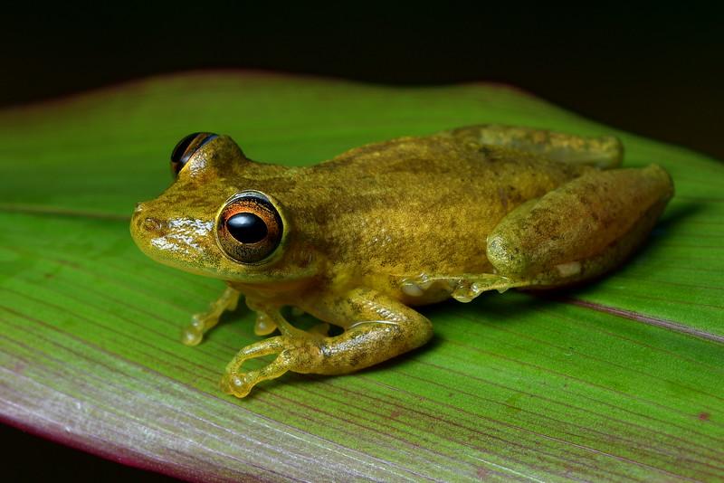 Swamp Tree Frog
