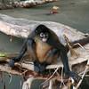 Spider Monkey (Golfe Dulce, Osa Peninsula).