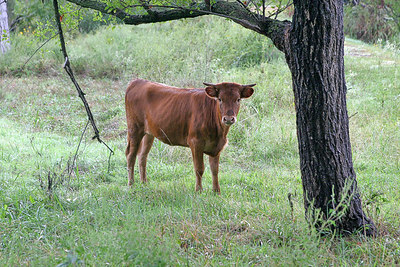 Young Heifer at my Pond.