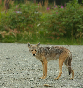 "The coyoteis a canid native to North America. It is a smaller, more basal animal than its close relative, the gray wolfbeing roughly the North American equivalent to the Old World golden jackal, though it is larger and more predatory in nature.It is listed as ""least concern"" by the IUCN, on account of its wide distribution and abundance throughout North America, even southwards through Mexico and Central America. It is a highly versatile species, whose range has expanded amidst human environmental modification. The ancestors of the coyote diverged from those of the gray wolf, 1–2 million years agowith the modern species arising in North America during the Middle Pleistocene.It is highly flexible in social organization, living either in nuclear families or in loosely-knit packs of unrelated individuals. It has a varied diet consisting primarily of animal matter, including ungulates, lagomorphs, rodents, birds, reptiles, amphibians, fish and invertebrates, though it may also eat fruit and vegetable matter on occasion. It is a very vocal animal, whose most iconic sound consists of a howl emitted by solitaryindividuals.Humans aside, cougarsand gray wolvesare the coyote's only serious enemies. Nevertheless, coyotes have on occasion mated with the latter species, producing hybrids colloquially called ""coywolves"". The coyote is a prominent character in Native American folklore, usually depicted as a trickster who alternately assumes the form of an actual coyote or a man. As with other trickster figures, the coyote acts as a picaresque hero which rebels against social convention through deception and humor.The animal was especially respected in Mesoamerican cosmology as a symbol of military might,with some scholars having traced the origin of the Aztec god Quetzalcoatl to a pre-Aztec coyote deity.After the European colonization of the Americas, it was reviled in Anglo-American culture as a cowardly and untrustworthy animal. Unlike the gray wolf, which has undergone a radical improvement of its public image, cultural attitudes towards the coyote remain largely negative."