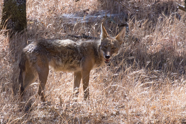 Coyote in Diablo Foothills...