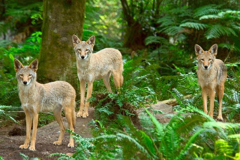 Three coyotes