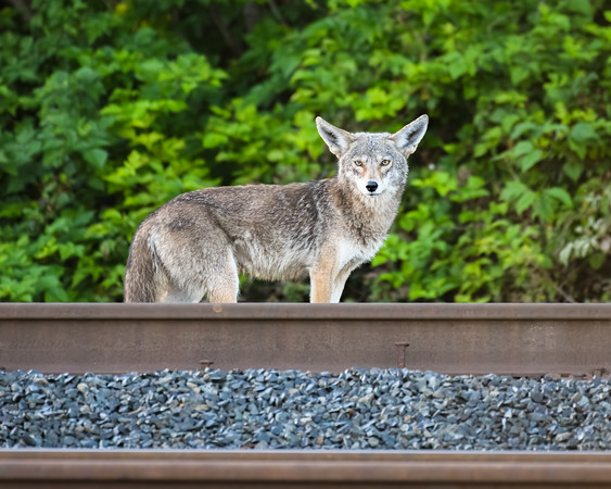 Coyote along the tracks