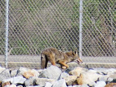 Coyote Encounters