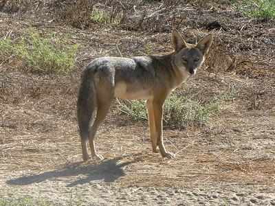 Coyote September 17 2018