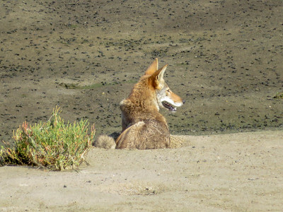 Coyotes August 21 2018