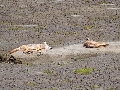 Coyotes June 4-5 2018