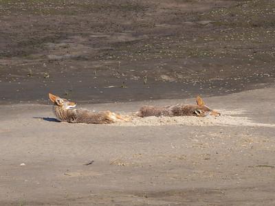 Coyotes May 31 2018
