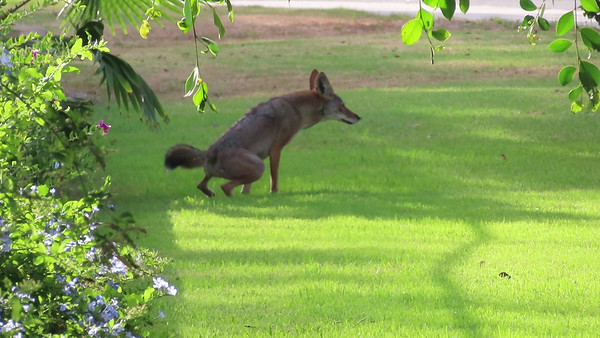 Coyotes September 24 2018