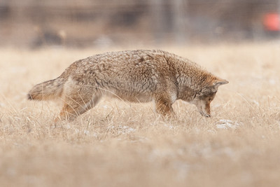 Male Coyote hunting for rodents