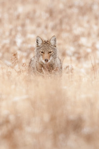 Male Coyote, possible Juvenile