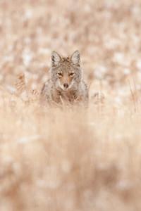 Male Coyote, possible Juvenile