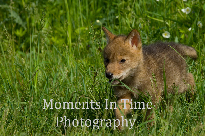 Young coyote in grass